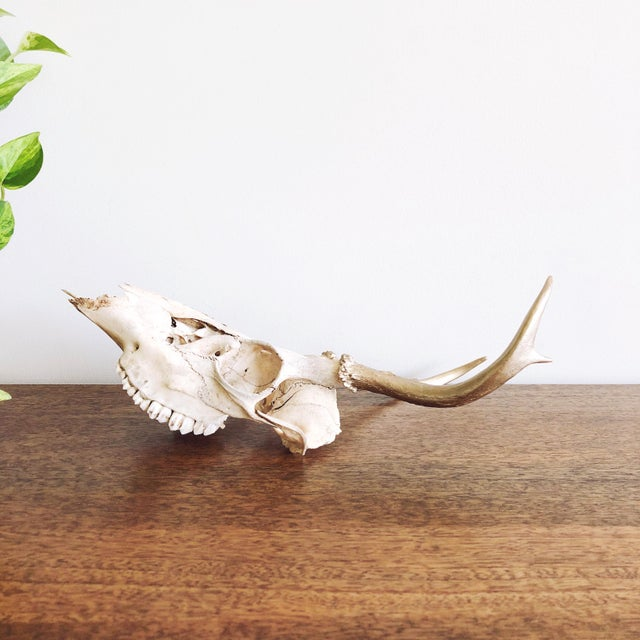 Vintage Deer Skull With Gold Painted Antlers For Sale - Image 4 of 5
