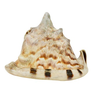 Vintage Mid Century Natural Helmet Conch Sea Shell For Sale