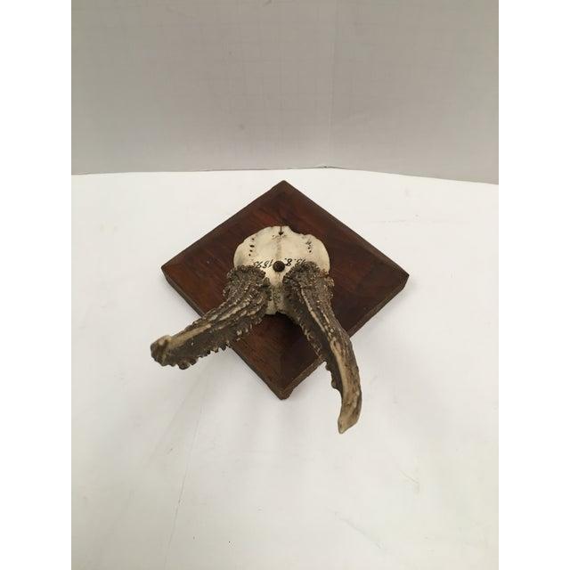German Roe Deer Antlers With Partial Skull For Sale - Image 4 of 9