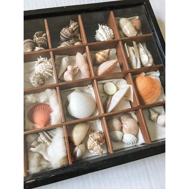 Antique Seashell Collection Shadowbox - Image 5 of 8