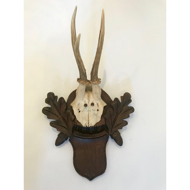 Black Forest Antler Trophies Mounted on a Shield Back With Leaf Decoration For Sale - Image 13 of 13