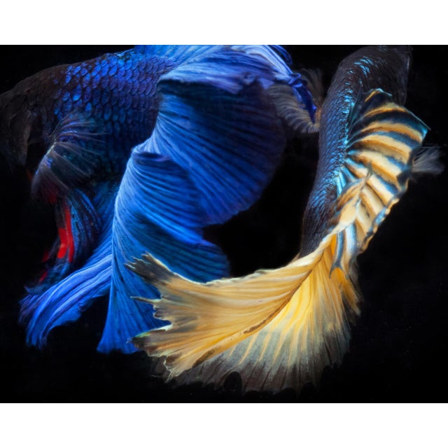 "Color Photograph of 2 Male Beta Fish Swimming on Black. Size is 24 x 30"" Printed on Archival Fine Art Paper"