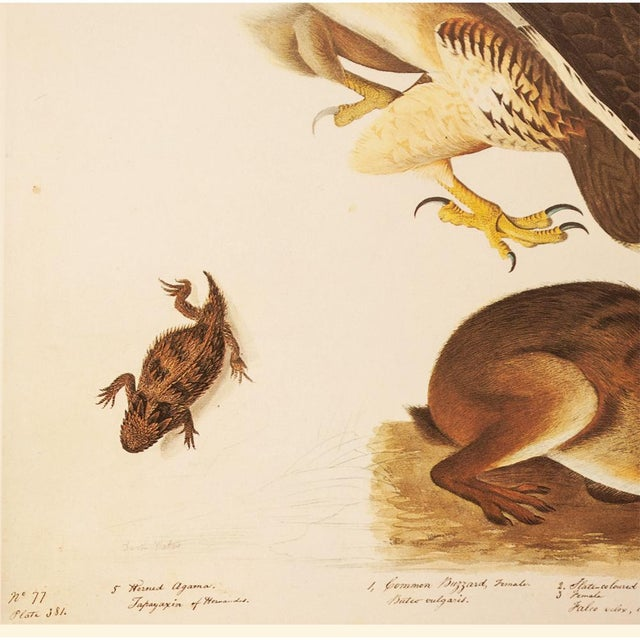 1960s Swaison's Hawk, Marsh Hare and Horned Agarma by Audubon, Vintage Cottage Print For Sale - Image 5 of 9