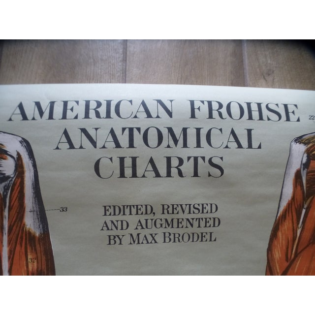 Industrial Vintage American Frohse Muscular System Anatomy Chart For Sale - Image 3 of 7