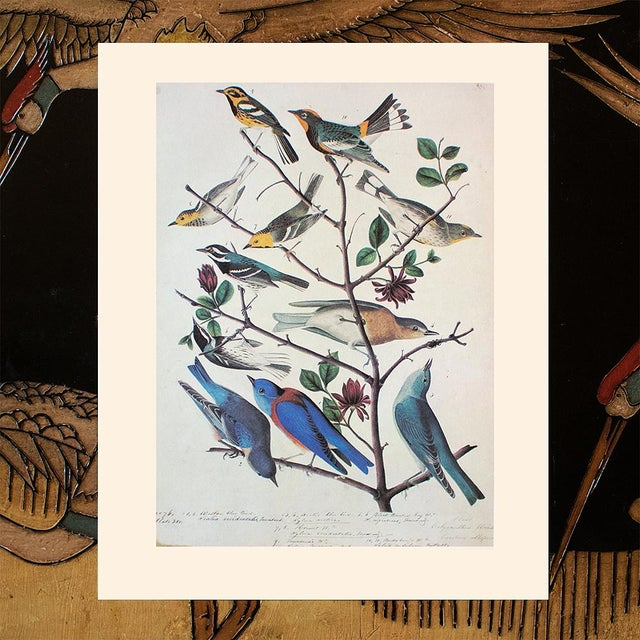 1960s American Bluebirds and Townsend's Warbler by Audubon, Vintage Cottage Print For Sale - Image 5 of 8