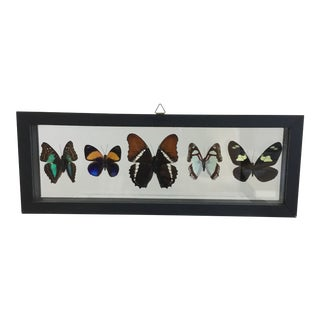 5 Butterfly's in a Shadow Box Frame For Sale