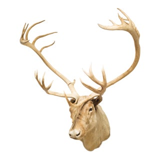 Barren Ground Caribou Taxidermy C.1970 For Sale