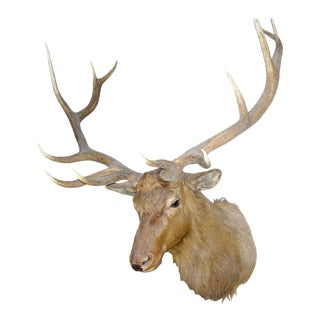 Monumental Twelve-point Elk Mount For Sale