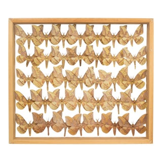 Shadowboxed Collection of Farm Raised Moths in a Maple Case For Sale