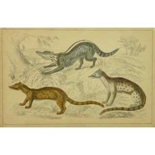Antique 1853 'Coatis' English Lithograph Print