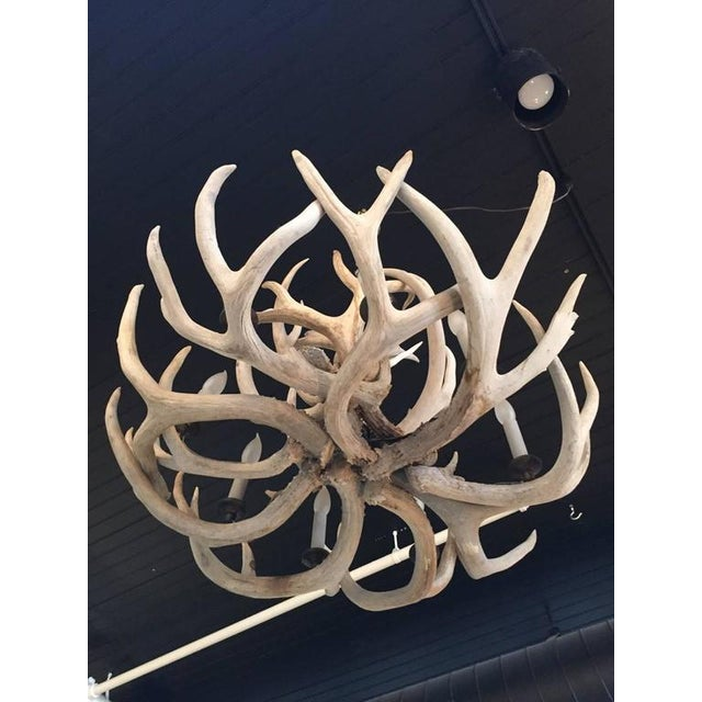 Antique Bleached Antler Chandelier For Sale In Philadelphia - Image 6 of 7