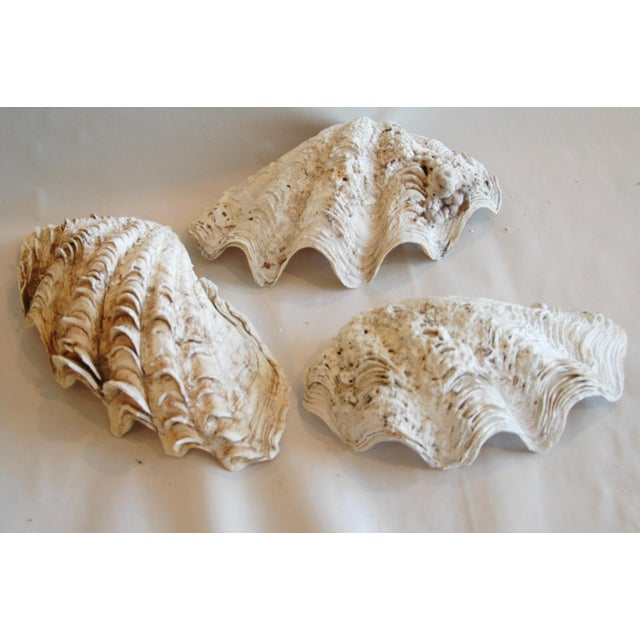 Antique Nautical Seashells Clamshells - Set of 3 - Image 5 of 10