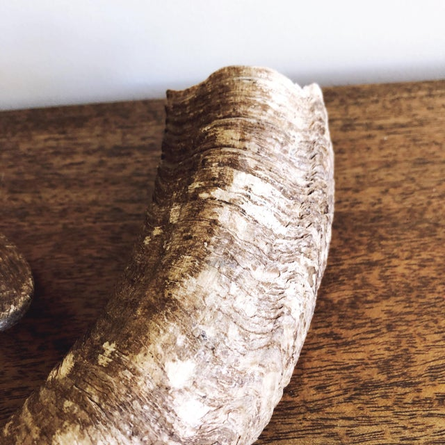 1990s Vintage Natural Ram's Horns - a Pair For Sale - Image 5 of 7