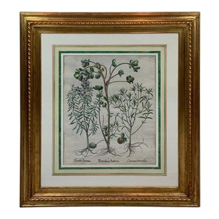 Basilius Besler, Portulaca Sativa V For Sale