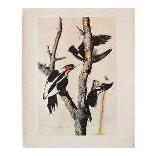 1966 Vintage Cottage Print of Ivory-Billed Woodpecker by Audubon For Sale
