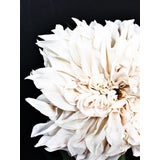 Image of Dahlia 16 Photographic Print For Sale