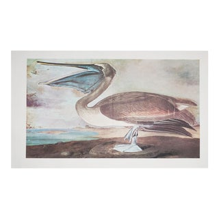 XL Vintage Lithograph of Pelican