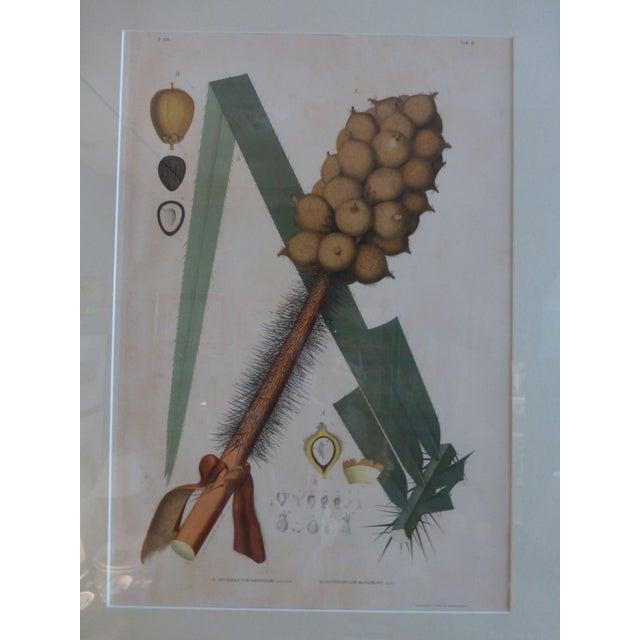 1903 Palm Engravings by Joao Barbosa Rodrigues - Image 3 of 8