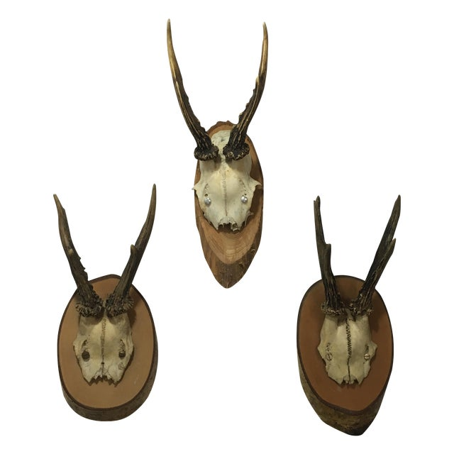 European Roe Deer Trophy Mounts - Set of 3 - Image 1 of 6