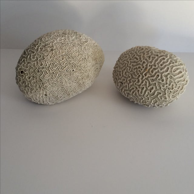 """Really great pair of brain coral specimens. No chips or beaks. Measurements are for largest piece smaller one is 6"""" w..."""