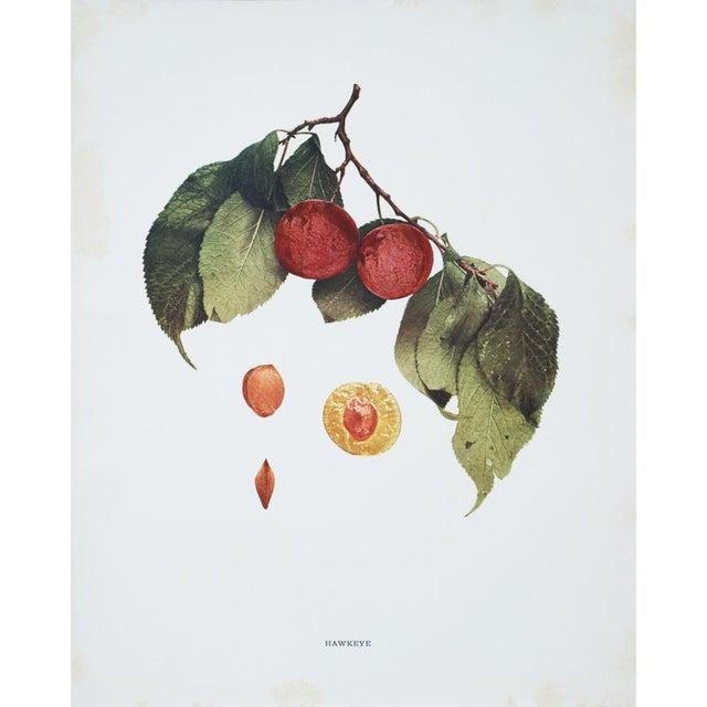 Large Antique Fruit Photoengravings - Set of 4 - Image 5 of 7