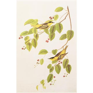1966 Large Lithograph of Ncarbonated Warbler by Audubon For Sale