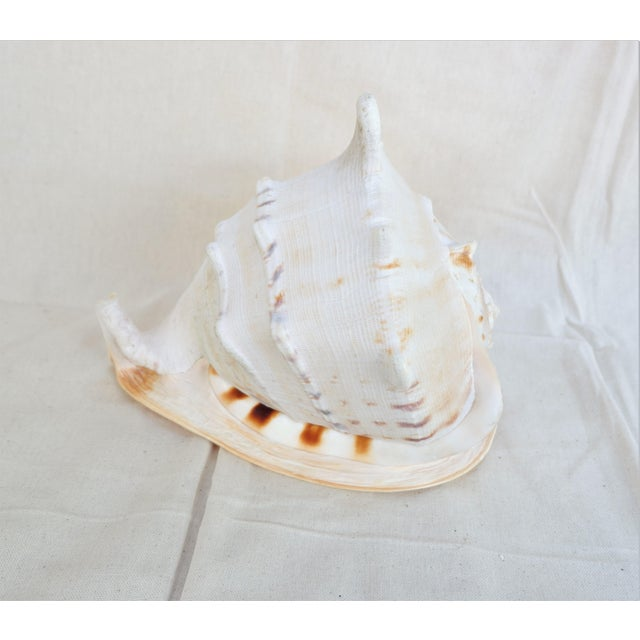 Used to be in the sea shell business selling to decorators in San Francisco and saved the best for the last. Largest...