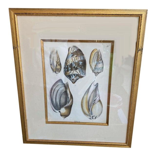 Antique Veluta Shell Engraving in Gilt Frame For Sale