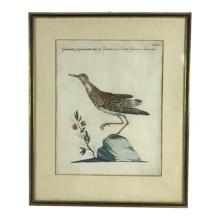 Late 18th Century Calidris Gambetta Bird Print by Saverio Manetti For Sale