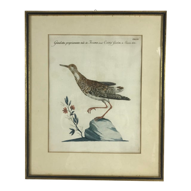 Late 18th Century Calidris Gambetta Bird Print by Saverio Manetti For Sale