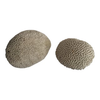 Brain Coral Specimens - A Pair For Sale