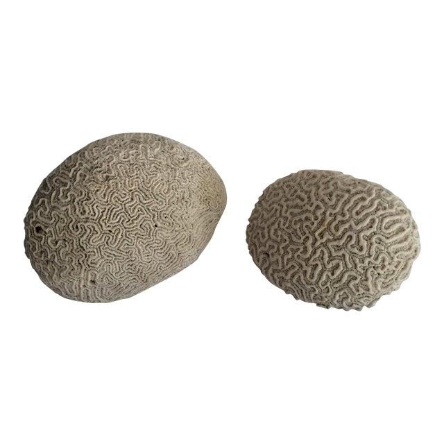 Brain Coral Specimens - A Pair For Sale