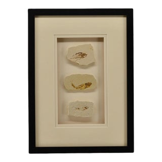 Framed Dinosaur Fish Fossils For Sale