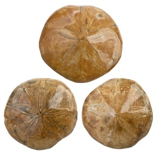 Fossilized Sand Dollars - Set of 3