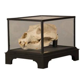Boldly Mounted Bear Skull, Holland c.1940, Original Label For Sale