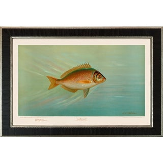 American Fish 28 the Porgee or Scup by Harris CFA Edition Giclee Print For Sale