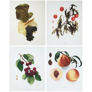 1900s Fruit Photogravures by Hedrick - Set of 4