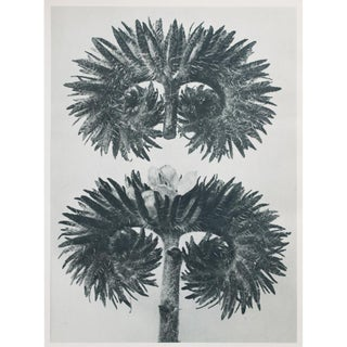 1935 Contemporary Two-Sided Photogravure N75-76 by Karl Blossfeldt
