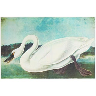 1966 Cottage Print of American Swan by Audubon For Sale