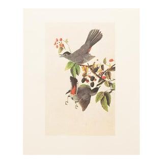 1966 Vintage James Audubon Reproduction Catbird Lithograph Print
