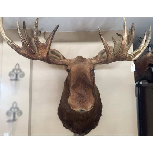 Alaskan Moose Taxidermy Shoulder Mount - Image 2 of 5