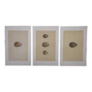 Antique Egg Lithographs - Set of 3-Plover Eggs For Sale