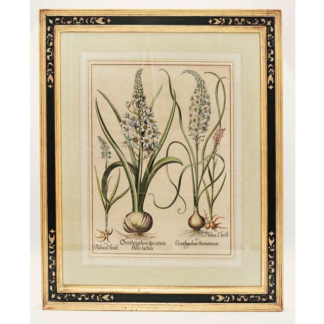 "French 17th Century Basil Besler ""Ornithogalum Spicatum"" Botanical Print For Sale - Image 3 of 7"
