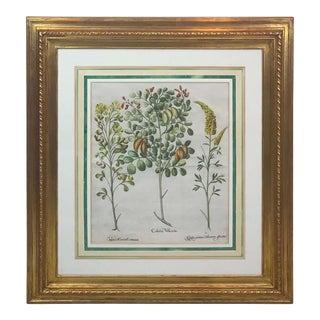 Basilius Besler, Colutea Vellcaria, I For Sale
