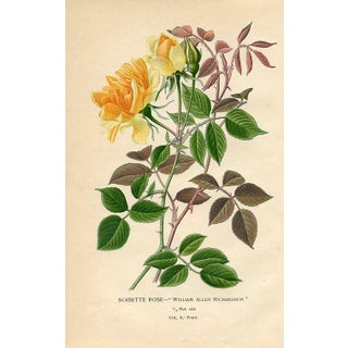 1890s English Botanical Print, the Noisette Rose For Sale