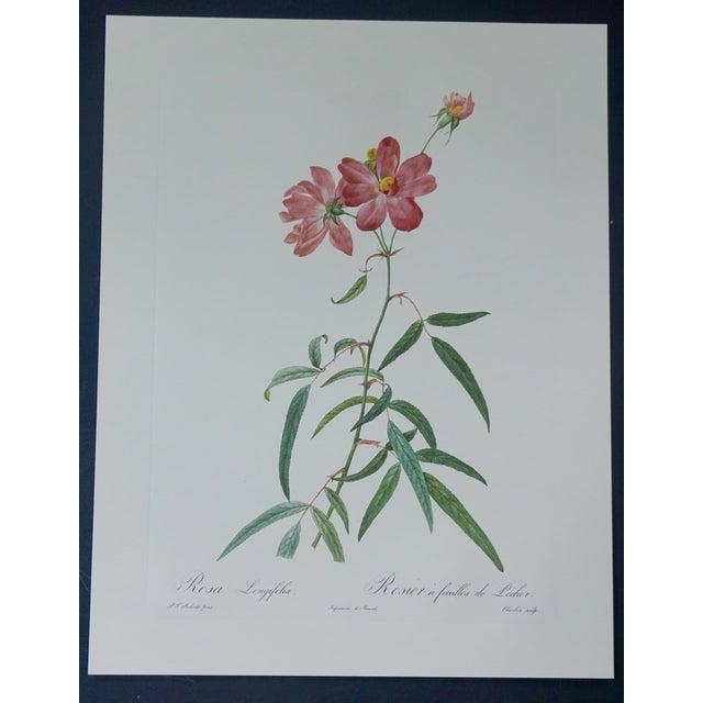 Vintage Botanical Print of a Pink Rose - Image 2 of 5