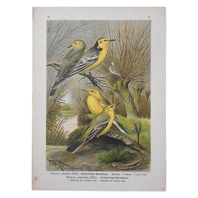 Antique Lithograph - Birds For Sale