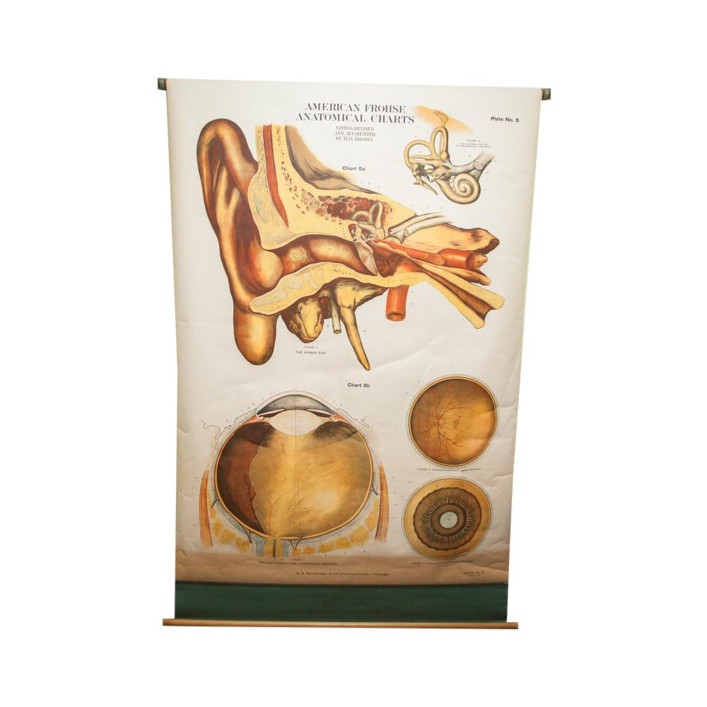 Vintage Classroom Eye Ear Anatomical Pull Down | Chairish