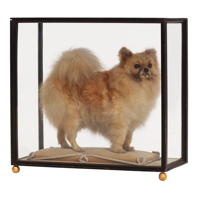 Pomeranian Taxidermy in Glazed Display Cabinet For Sale