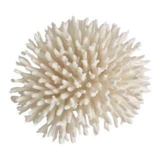 Natural White Table Coral Display Specimen